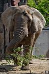 Erneut große Trauer im Elefantenhaus Halle - Elefantenleitkuh Mafuta im Bergzoo Halle verstorben